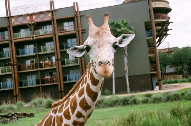 Giraffe at Animal Kingdom Lodge