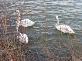 There were lots of swans in the river.