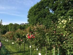 Roses blooming in the Volksgarten