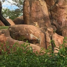The elusive lioness